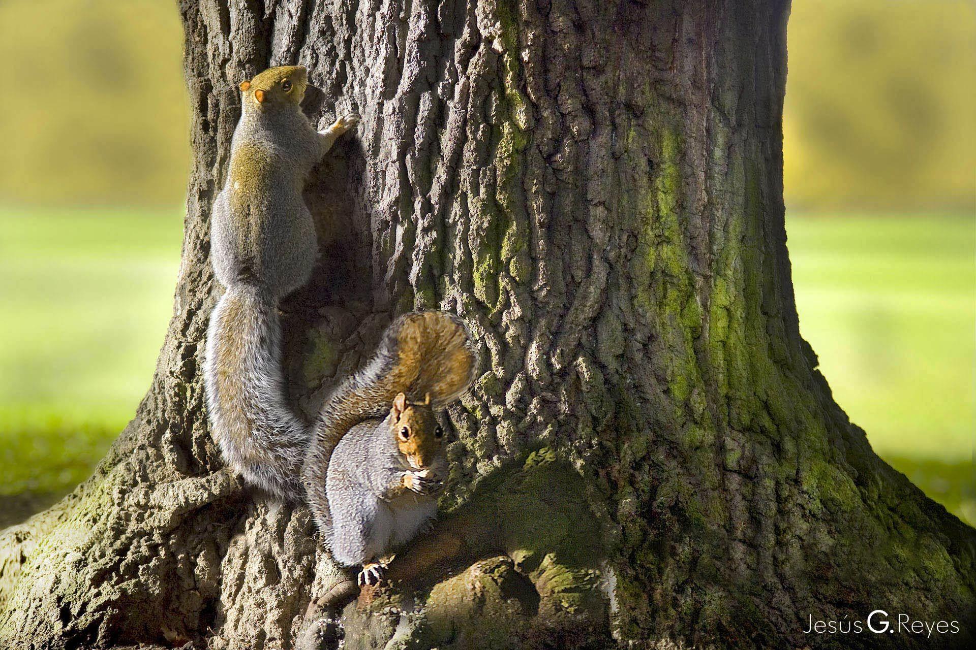 Squirrels in the oak. London