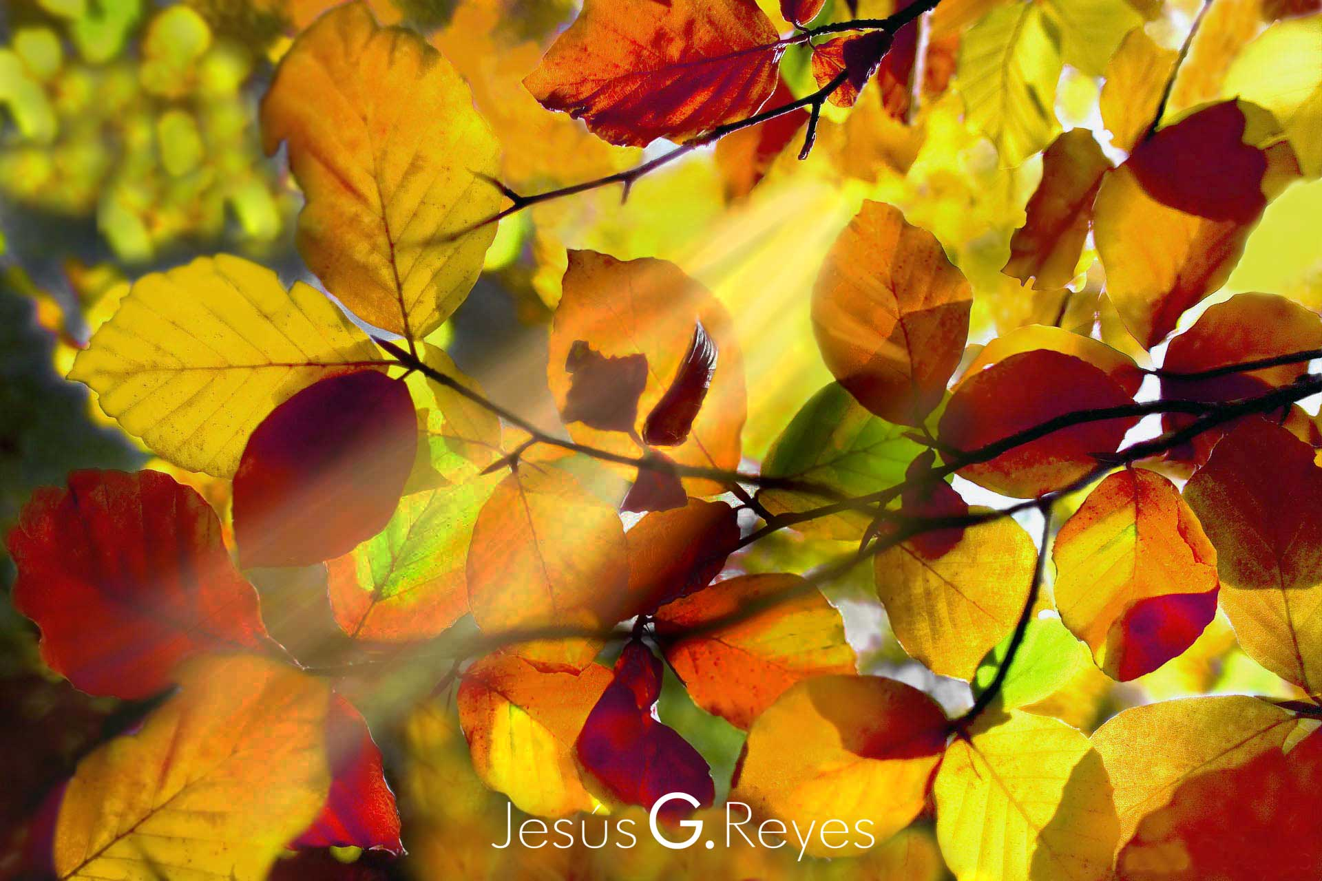 Autumn beech. La Rioja. Spain